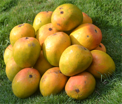 Send Alfanso Mangoes in India